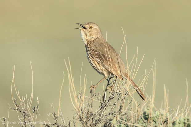 Singing Sage Thrasher (Oreoscoptes montanus). Sublette County, Wyoming. May. Photo by Gerrit Vyn.
