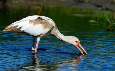white-ibis-06102016-chincoteague-nwr-va