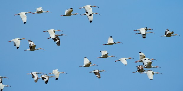 white-ibis-in-flight-06102016-chincoteague-nwr-va-c-jim-clark_18