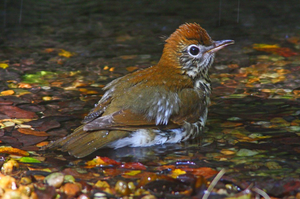 A wood thrush takes a bath in a cool mountain stream. © Budd Titlow