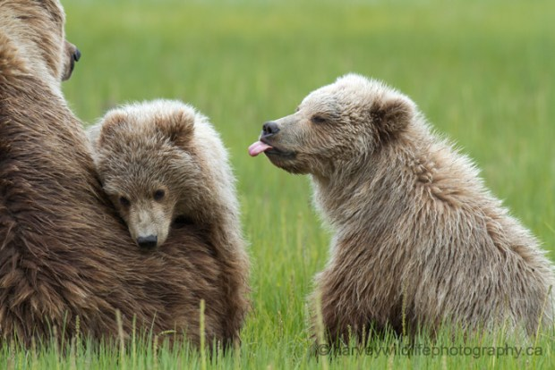 bear_cub_sticking_out_tongue