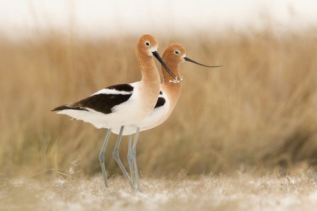 American Avocets are one of my most favorite birds of all for their beauty and elegance. I spent quite a bit of time with them in Montana one spring, and was able to photograph them in breeding plumage and behavior. Here a pair pauses during their nest building.