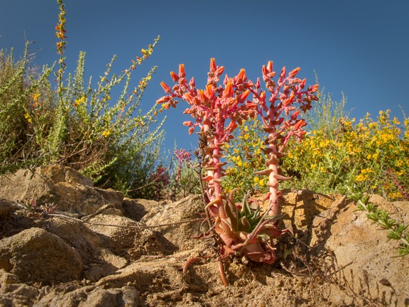Dudleya in bloom, Santa Monica Mountains National Recreation Area, California. Image © Rob Sheppard.