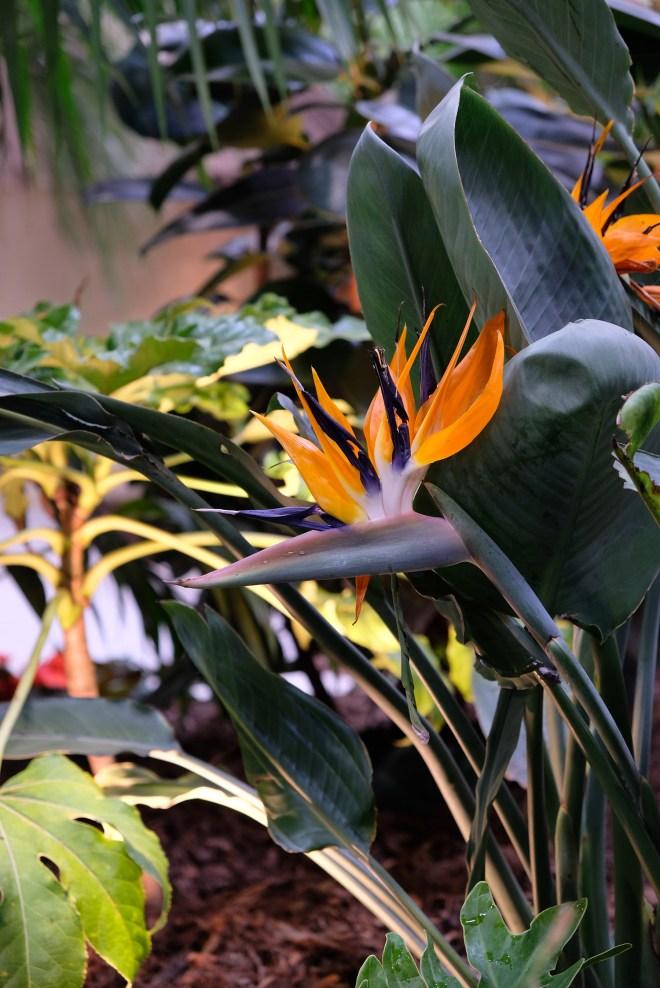 Oiseaux de Paradis aux Floralies
