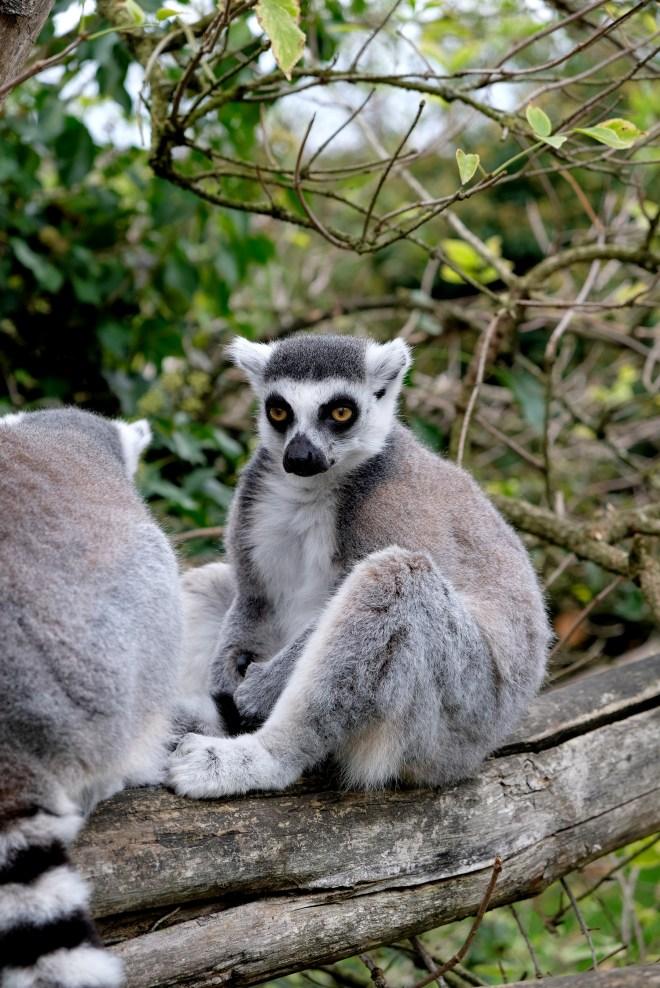 Lémuriens en semi-liberté au zoo de la Boissière du Doré