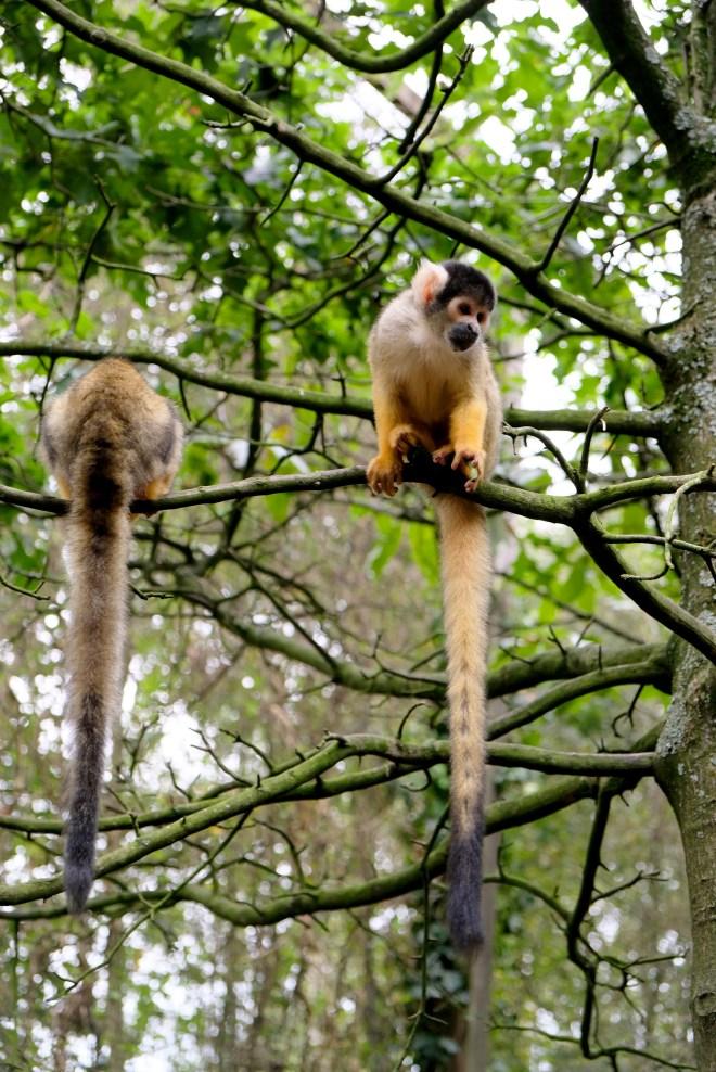 Singe au zoo de la Boissière du Doré