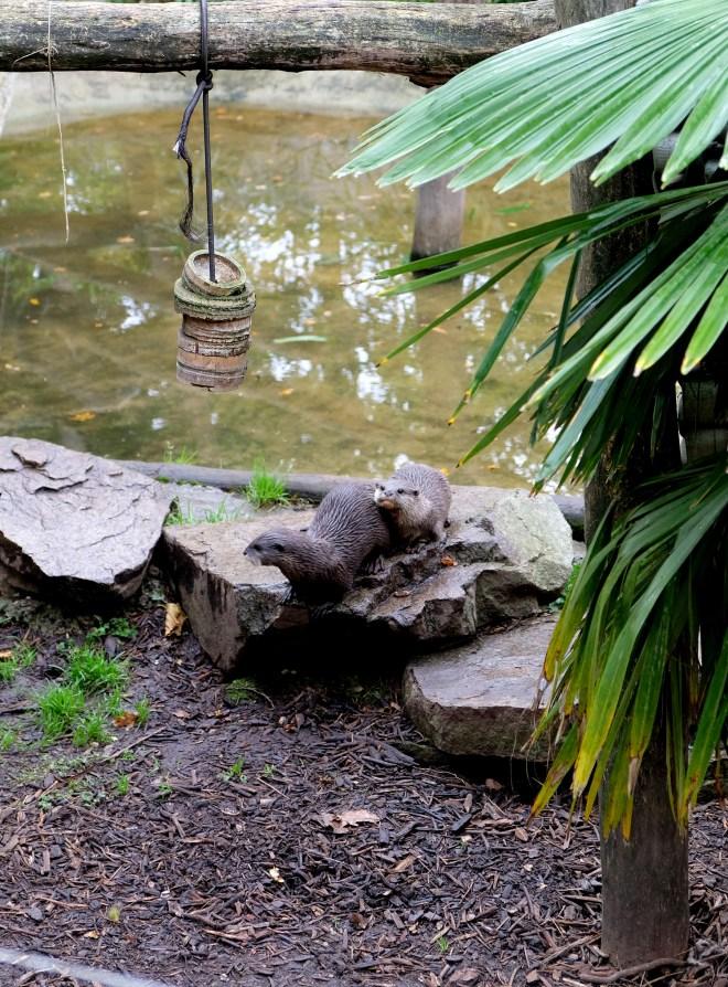 Loutres au zoo de la Boissière du Doré
