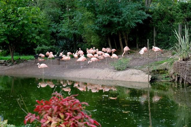 Flamants roses au zoo de la Boissière du Doré