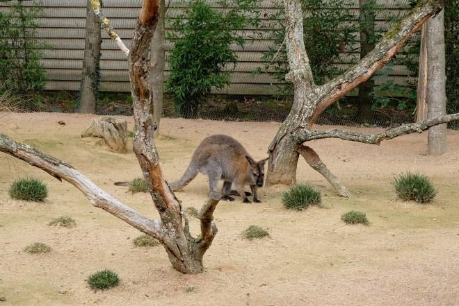Kangourou au zoo de la Boissière du Doré