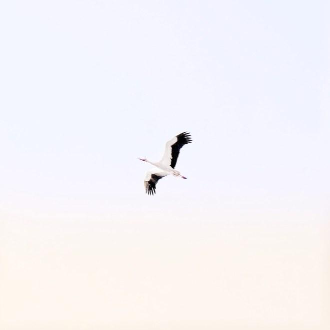 Cigogne à Nantes