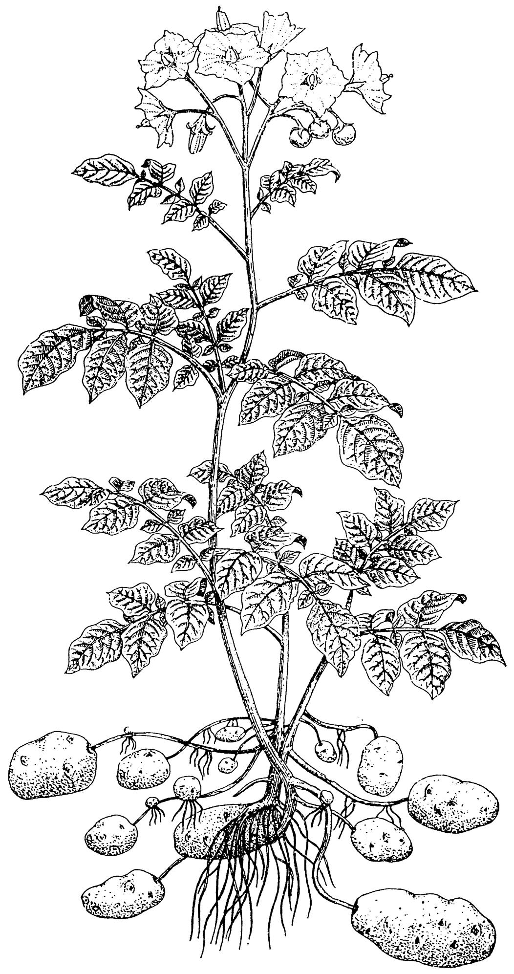 Potato Plant Diagram Sketch Coloring Page