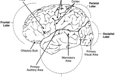 Interior exterior portion of cerebral cortex full hd maps hemisphere wikipedia cerebral hemisphere brain anatomy anatomy of the human brain skull cerebrum wikipedia cerebral cortex video khan academy parts of ccuart Image collections