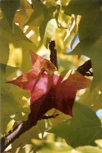Red Grape leaf, Napa Valley