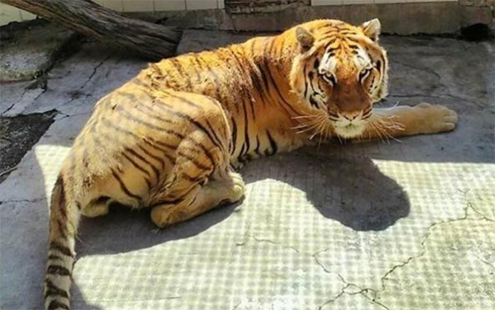 Addio Kashmir: è morta la tigre dello Zoo di Napoli