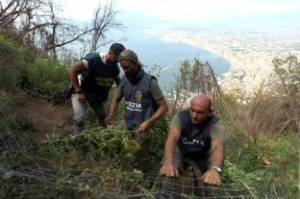 Agenti di polizia e del corpo forestale nella piantagione di canapa indiana sui Monti Lattari (Napoli) scoperta in località Castagneto sul Monte Faito, 21 agosto 2013.  ANSA/CESARE ABBATE/