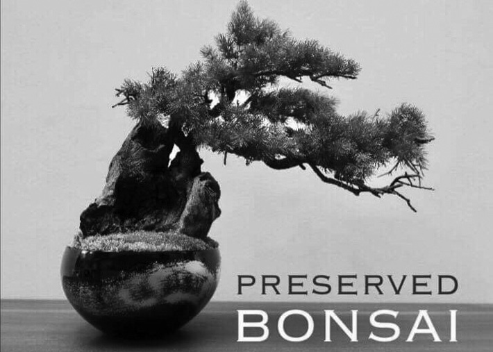 Preserved Bonsai By Heiando America North American Post Your Link To Seattle S Japanese Community