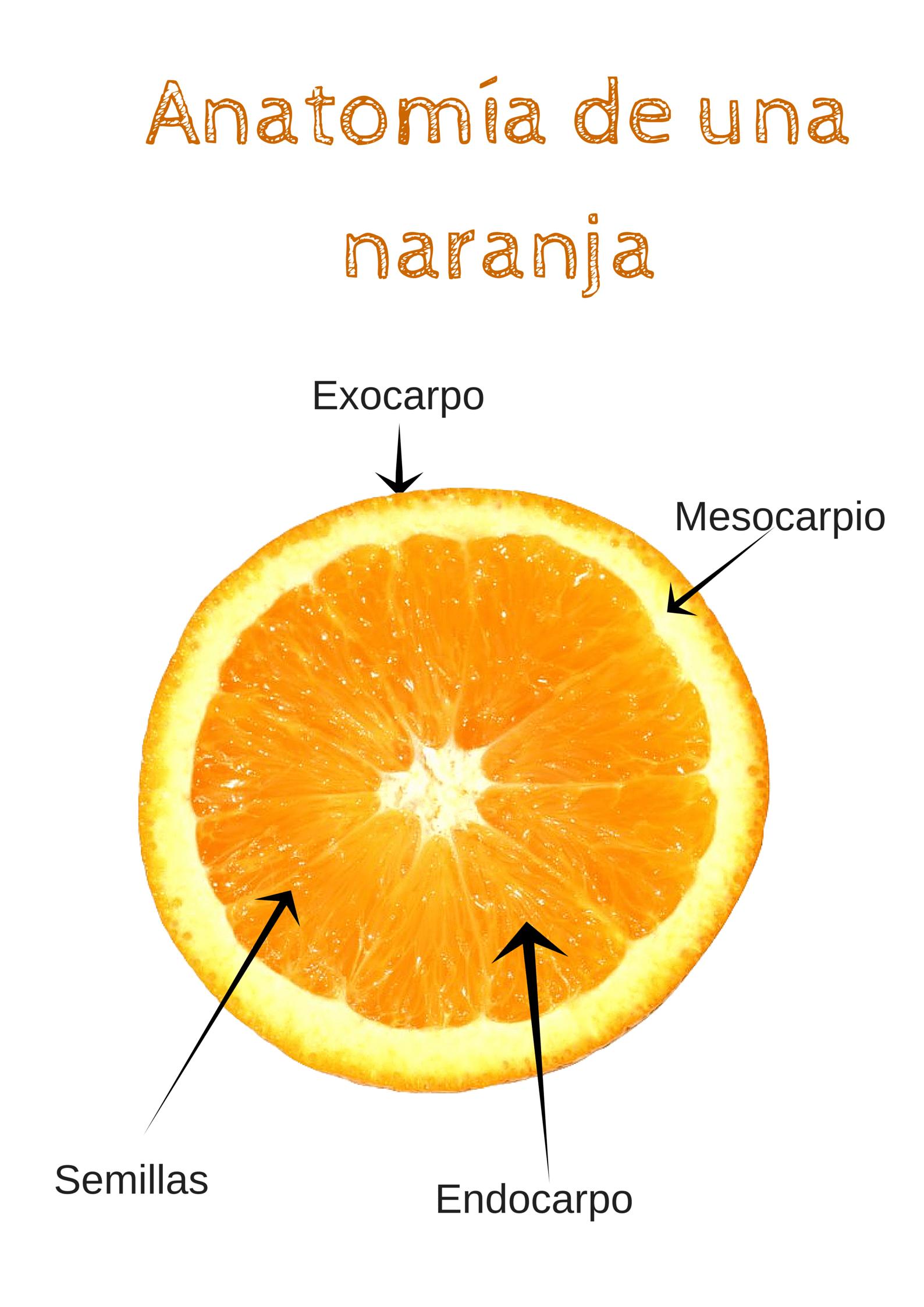Blog de agricultura y apicultura » Anatomía de una naranja