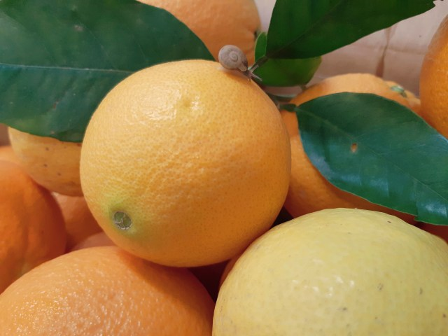 Oranges with snail