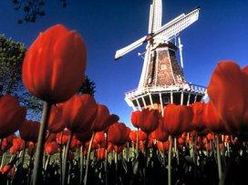 El molino y los tulipanes holandeses