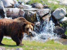 Usa: orso al Grand Canyon