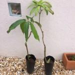 「マンゴー栽培」植え付け初年度(2015年)