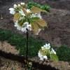 「庭で梨・リンゴ栽培」栽培初年度