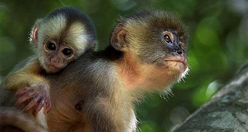 Maymun Sai