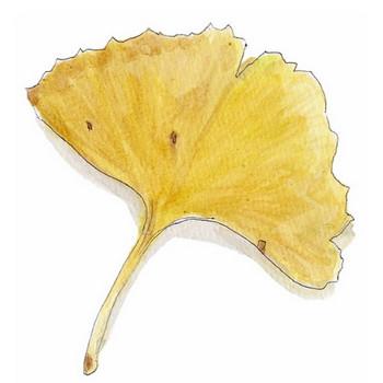 浩司の水彩画  「イチョウの葉」  無料イラスト・フリー素材  おしょくじ處 今・日本料理 小や町