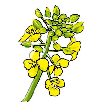 無料イラスト素材・カット素材「菜の花」ダウンロード/印刷素材.net