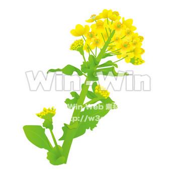 菜の花 W-015933 の無料CG・イラスト素材