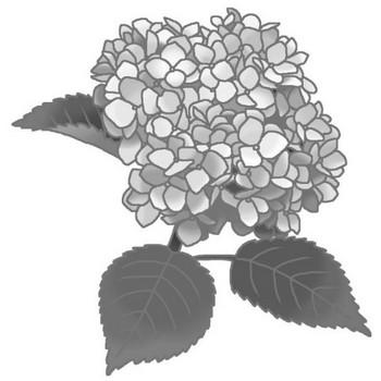 夏の花1/アジサイ1(紫陽花)・モノクロ/花イラスト/お花と季節のお礼状