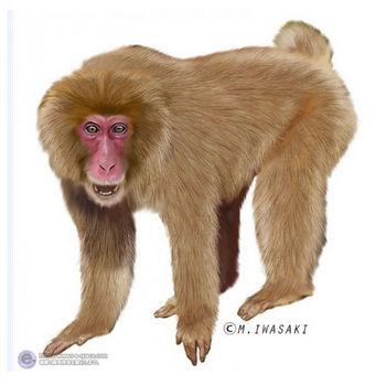 動物リアルイラスト   サルとニホンザルと哺乳綱サル目と霊長目とオナガザル科マカク属のイラスト   イラストレーター検索 illustrator e-space
