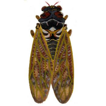 昆虫のイラスト集[セミ_2]|室町の加納株式会社