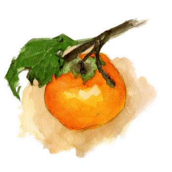 浩司の水彩画  「柿」  無料イラスト・フリー素材  おしょくじ處 今・日本料理 小や町