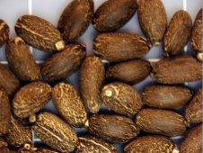Seeds of J. curcas