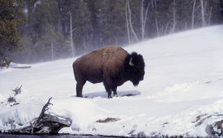 A bison in the snow at Yellowstone National Park