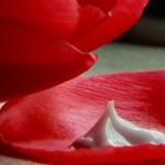 Cream Tulip slider