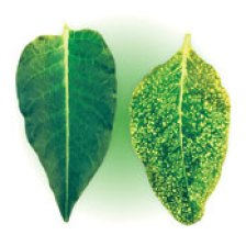 A healthy tobacco leaf beside a tobacco leaf with Mosaic disease
