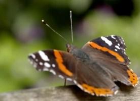 Kelebekler Sadece Karıncaları Mı Sever.