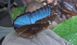 Morfo Kelebekleri Neden Mavidir?