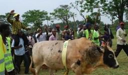 Batı Kenya'nın Savaşan Boğaları