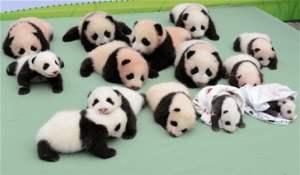 Panda Bakıcısı Nasıl Olunur ?