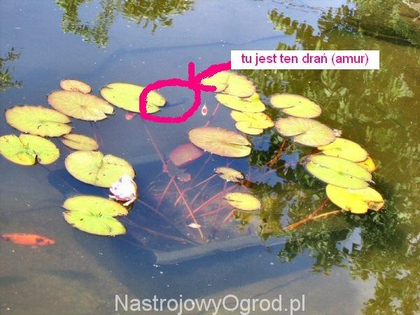 Oczka wodne, a ryby. Dlaczego amur jest zmorą oczka wodnego.