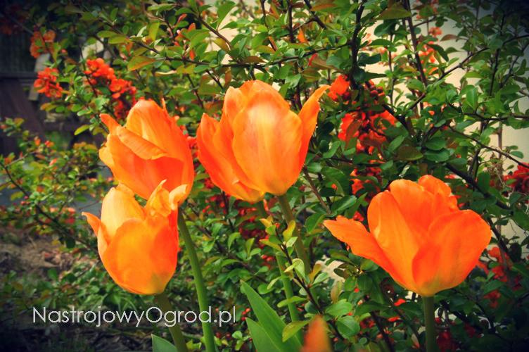 tulipany-botaniczne-2