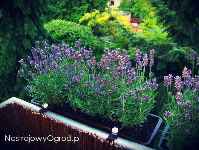 lawenda-na-balkonie-1