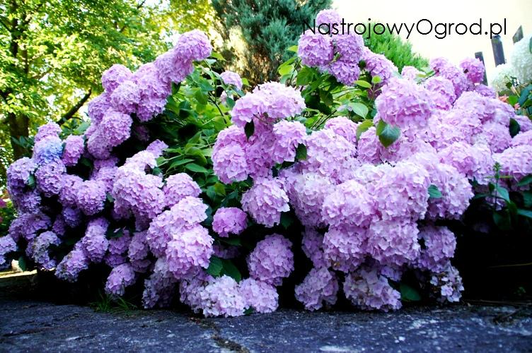 kwiaty-ogrodowe-wieloletnie-2