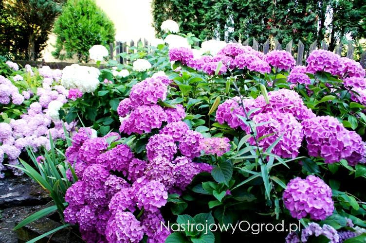 kwiaty-ogrodowe-wieloletnie-4