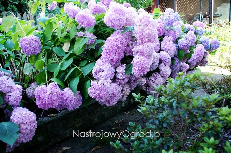kwiaty-ogrodowe-wieloletnie-5