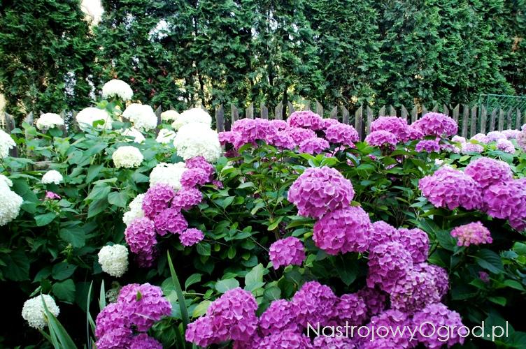 kwiaty-ogrodowe-wieloletnie-7
