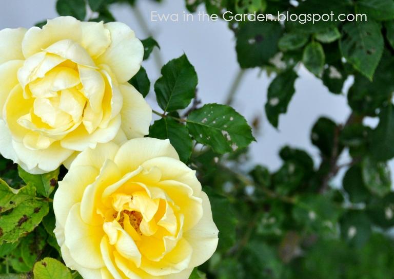 kwiaty-w-ogrodzie-2